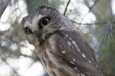 Pepsi can Owl