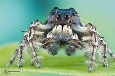 Jumping Spider - Phidippus putnami by ColinHuttonPhoto.deviantart.com on @DeviantArt