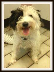Yetta is an adoptable Schnauzer Dog in Tulsa, OK. My adoption fee covers: shots, heartworm testing, fecal testing, spaying/neutering, microchip, flea and tick prevention, and heartworm prevention. Thi...