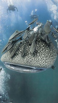 Whale shark with Remoras - Animals Wild Life Underwater Creatures, Underwater Life, Fauna Marina, Water Animals, Baby Animals, Funny Animals, Delphine, Sea And Ocean, Fish Ocean