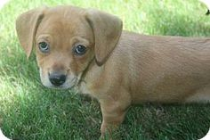Holly Springs, NC - Chihuahua/Dachshund Mix. Meet Chaya, a puppy for adoption. http://www.adoptapet.com/pet/13581956-holly-springs-north-carolina-chihuahua-mix