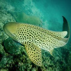 Shark Saturday! Beautiful leopard shark. #shark #leopardshark #instafish #scubadiving #thesea #savesharks #bestdivespots #oceanlife #scubalife #krabi #kohlanta