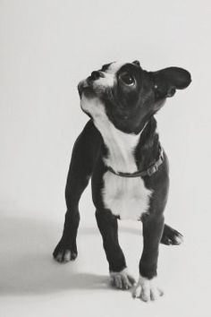 Boston terrier via @KaufmannsPuppy