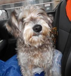 Winnie is a great female schnauzer She is two-three years old and weighs 24 lbs. Winnie is heartworm negative and is now spayed and microchipped. She jumped right in the front seat of my car and was ready to roll when asked. I think this is a great dog. She is very affectionate and seems to be housetrained. She seems to be ok with other dogs but I think she likes humans best. Apply to adopt Winnie here http://www.petfinder.com/petdetail/22164632