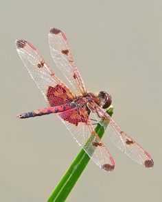 Male Calico Pennant by Vicki's Nature, via Flickr