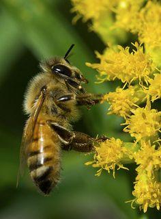 Honey Bee - by Bernie Kasper  http://www.quicksolutionpestcontrol.com  #pestcontrolbrooklyn #bees #beecontrol