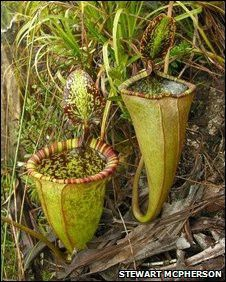 Giant Rat-Eating Plant Discovered in the Philippines