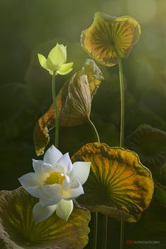 Exotic Flowers, Beautiful Flowers, Flower Iphone Wallpaper, Lotus Painting, Krishna Art, Wallpaper Pictures, Botanical Art, Creative Photography, Flower Art