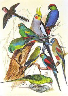 Birds 1972 Encyclopedia Print, via ninainflorida Botany Illustration, Tropical Birds, Antique Prints, Bird Prints, Bird Art, Natural History, Beautiful Birds, Pet Birds, Cute Animals