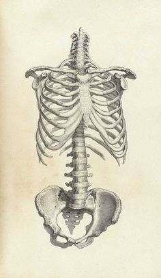 Framed Print – Vin… Framed Print – Vintage Human Spine And Ribcage (Picture Skeleton Medical Art) Skeleton Drawings, Human Skeleton, Skeleton Art, Skeleton Anatomy, Medical Drawings, Medical Art, Medical School, Human Anatomy Art, Anatomy Drawing
