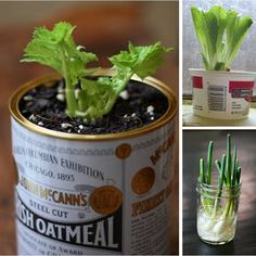 Grow an endless supply of celery, romaine lettuce, and green onions ... on your windowsill.
