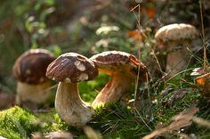 Des champignons en abondance dans les bois de Haute-Loire... #JeuneLoire #HauteLoire #Auvergne © L. OLIVIER / Maison du Tourisme Haute-Loire
