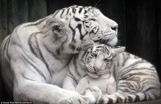 Adorable tiger cubs snuggle up to mother Mum Surya Bara has look of complete contentment as the inquisitive youngsters snooze with .Mum Surya Bara has look of complete contentment as the inquisitive youngsters snooze with . Rare Animals, Zoo Animals, Cute Baby Animals, Animals And Pets, Wild Animals, Tiger Pictures, Animal Pictures, Beautiful Cats, Animals Beautiful