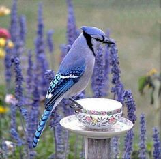 Isn't it beautiful? Small Birds, Colorful Birds, Pet Birds, Good Morning Picture, Morning Pictures, Beautiful Birds, Animals Beautiful, Beautiful Things, Blue Jay
