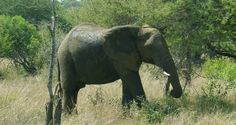 Elephant on Wildlife Safaris in Kruger National Park (South Africa). Wildlife Safari, Kruger National Park, Big 5, Travel Information, South Africa, Elephant, Country, Holiday, Books