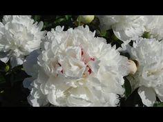 Master Class Part 1 Diy Lace Ribbon Flowers, Paper Flowers Diy, Big Flowers, Faux Flowers, Handmade Flowers, Flower Crafts, Fabric Flowers, Crepe Paper Flowers Tutorial, Flower Video