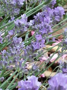 Lavender ©2013 ACN