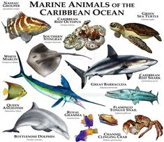 Marine Animals of the Caribbean Ocean by rogerdhall on DeviantArt