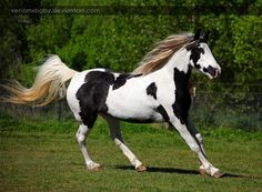 black tovero - Tennessee Walker mare Apache's War Pusher