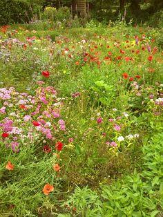Mohnblüte im Garten Meyer