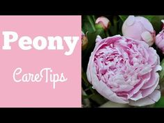 """Kelly Lehman shares some easy peony care tips for longer lasting peony blooms. Great """"How To"""" advice on what stage to cut your peony flowers at for the longe. Peony Care Tips, Peony Arrangement, Crochet Hair Styles, Nail Stamping, Flower Tutorial, Garden Wedding, Gardening Tips, Peonies, Character Design"""