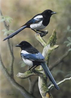 Black-billed Magpies Externally, the black-billed magpie is almost identical to the European magpie, Pica pica, and is considered conspecific by many sources All Birds, Love Birds, Angry Birds, Pretty Birds, Beautiful Birds, Magpie Tattoo, Animals And Pets, Cute Animals, British Wildlife