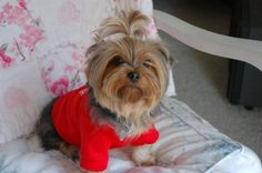 Yorkie Short Haircuts for Summer