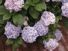 Article about reblooming hydrangeas like this Hydrangea Double Delights Wedding Ring