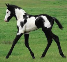 Black and white paint foal <--- Look at those legs! It's like it's wearing boots or stockings!