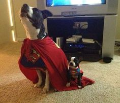 """I imagine if they were human, they would be Superman and his little Boy Wonder.  Clearly, it appears that """"Boy Wonder"""" plans to ride Superman's cape tails all the way to the top.  He has a lot to learn.... But both are feelin' SUPER!"""