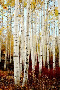 Nature Pictures, Beautiful Pictures, Beautiful Places, Aspen Trees, Birch Trees, Landscape Photography, Nature Photography, Tree Tat, Bedroom Crafts