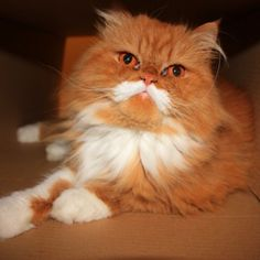 Oki the Cat -- And His Luxurious Mustache