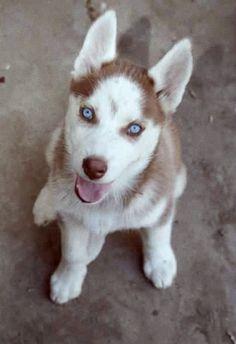 My baby girl. Red husky puppy.