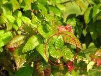 Identification of Poison Ivy, Poison Oak, Poison Sumac, and Poisonwood - #poisonivy