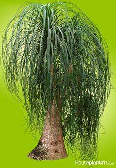 Palm Plant Care, House Plant Care, Ponytail Palm Care, Pony Tail Palm, Yucca Plant, Sun Loving Plants, Indoor Trees, Plant Diseases, Unique Trees
