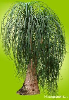Palm Plant Care, House Plant Care, House Plants Decor, Plant Decor, Ponytail Palm Care, Pony Tail Palm, Yucca Plant, Indoor Trees, Sun Loving Plants