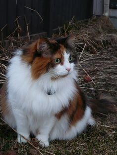 Bernadette the Calico Siberian Cat by jacob earl, via Flickr