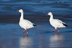 A pair of snow geese walk on the ice at Squaw Creek National Wildlife Refuge. Snow Goose, Grey Goose, Bird Feathers, Nebraska, Wildlife, Outdoors, Birds, Nature, Animals