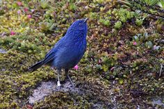 Tit-like Dacnis, male (Xenodacnis parina), El Cajas NP, Azuay, Ecuador, by Ardeola, via Flickr