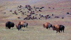 #Buffalo heard on the #Montana plains.