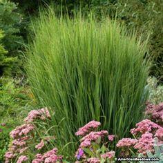 Native Grass, some shade OK; Green Switchgrass Northwind, Panicum virgatum,