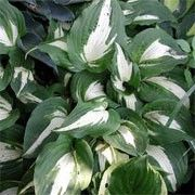 Hosta 'Night before Christmas'. Click image to learn more, add to your lists & get care reminders.    Other names: Hosta 'Night before Christmas'    Genus: Hosta    Variety or cultivar: 'Night before Christmas' _ 'Night before Christmas' is a clump-forming, herbaceous perennial producing a mound of glossy, ovate to heart-shaped, slightly twisted, dark-green leaves with creamy-white centres. Racemes of funnel-shaped, pale lavender flowers bloom on tall, slender scapes in summer.