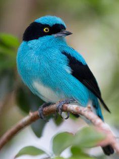 Cute turquoise bird, Black-faced Dacnis