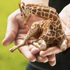Okay, how can you not want a tiny giraffe? Look at it--it's sooooo cute! And apparently there's a farm in Russia that breeds these little guys! Or do they...?