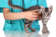 Infertilidade em gatos: como identificar se seu gato não consegue se reproduzir e o que fazer