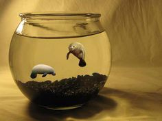 if there were fishbowl sized manatees, i would pee myself and then go buy 100 I've said this forever. So my sweet girlfriend got me a little realistic toy manatee in a fish tank with water and everything for Christmas. Funny Cute, The Funny, Sea Cow, My New Room, In This World, Make Me Smile, Cute Animals, Funny Animals, Creatures