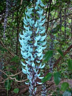 The Jade Vine (Strongylodon macrobotrys) is a native of the tropical forests of the Phillipines. Its flowers are the color of jade, and hang in bunches up to 90 cm long; each clawlike flower is about 7½ cm long. In its native Philippines, the jade vine's flowers are pollinated by bats.The rare and beautiful green jade flower is distinct for its blue-green petals and navy-purple center.
