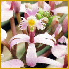 #Epidendrum ist eine große und artenreiche #Orchideengattung.  Epidendrum, bevorzugt wird ein heller, sonniger Platz. Trotzdem sollten Sie in den sonnenreichsten Sommermonaten auch für Schatten sorgen.  http://www.gartenschlumpf.de/epidendrum/