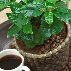Coffee Plants for Sale   Coffee arabica Plants for Sale   Fast Growing Trees