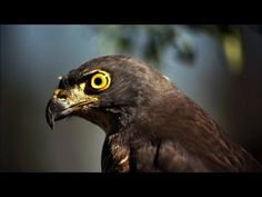 The African goshawk displays ultimate precision at top speeds.
